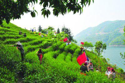 金寨全力推进茶产业建设 打造经济发展...