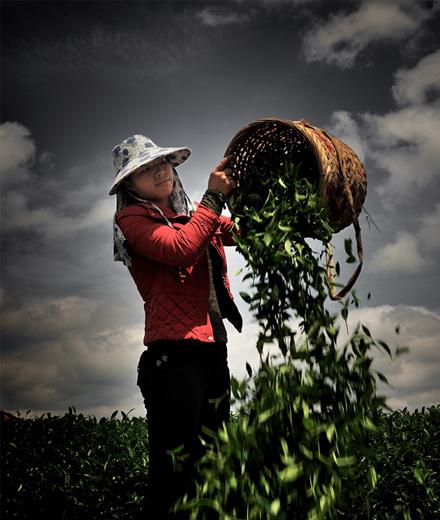 茶叶生产关键在于机械化 推进产业发展