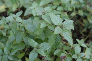 mint growing in chicago